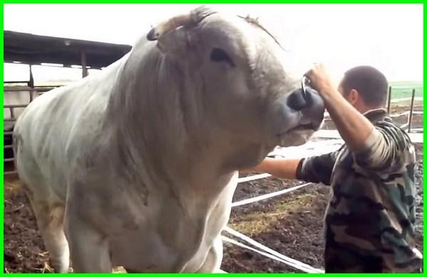 sapi terbesar, jenis sapi terbesar chianina