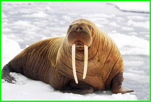 gambar hewan walrus, foto hewan walrus, hewan laut walrus, bentuk hewan walrus, apa itu hewan walrus, ciri ciri hewan walrus, apa itu hewan walrus