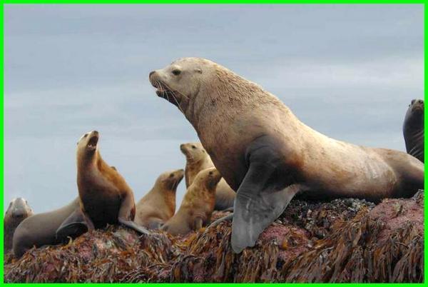 apakah singa laut termasuk mamalia, apakah singa laut berbahaya, apa makanan singa laut, apa itu singa laut, apa warna singa laut, hewan apa singa laut, apakah makanan singa laut, cara singa laut berkembang biak, cara singa laut beradaptasi, asal singa laut, singa laut hidup dimana