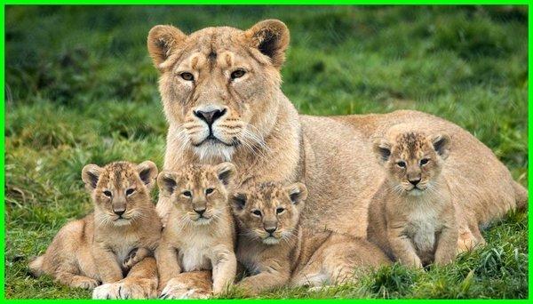 hewan singa adalah, aktivitas hewan singa, hewan anak singa, hewan legenda singa, apa saja makanan singa, apa saja aktivitas singa, dari mana singa berasal, apa makanan singa, singa dan anaknya