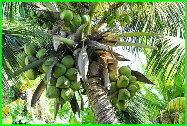 10 Bagian Dari Pohon Kelapa Yang Penuh Manfaat Dunia Fauna