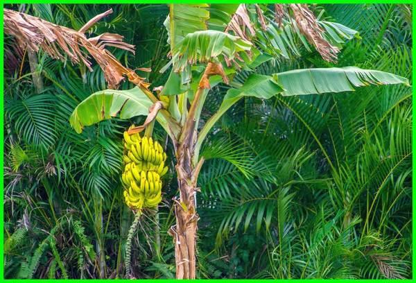 apa manfaat pohon pisang, apakah manfaat buah pisang, apa manfaat dari pohon pisang, apa manfaat dari batang pohon pisang, apa saja manfaat buah pisang, apa saja manfaat daun pisang, apa manfaat daun pisang, apa manfaat batang pisang