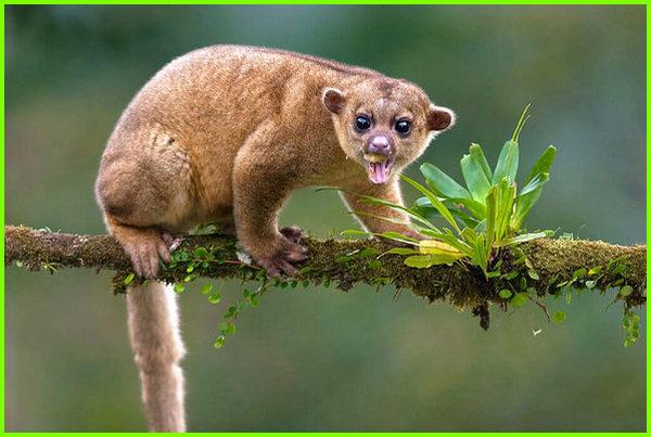 binatang huruf awalan k, hewan dengan huruf awal k, nama hewan berawalan huruf k, hewan huruf depan k, hewan yang huruf depannya k, nama hewan huruf depannya k, Kinkajou (Potos flavus)
