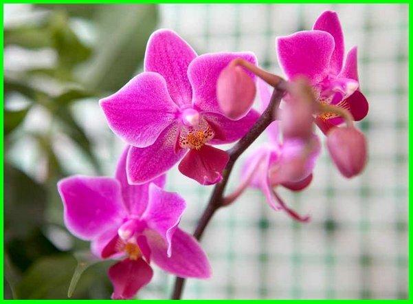 arti bunga anggrek, makna bunga anggrek