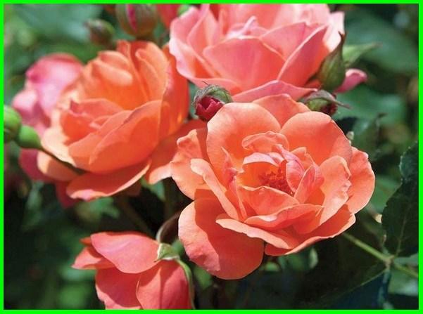 bunga mawar artinya, bunga mawar artinya apa, bunga mawar dan arti warnanya