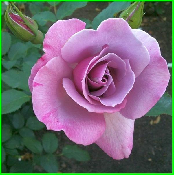 bunga mawar ungu dan artinya