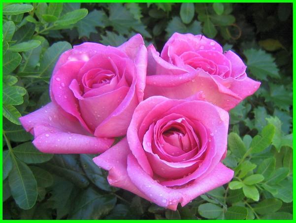 arti bunga mawar warna pink, makna bunga mawar warna pink
