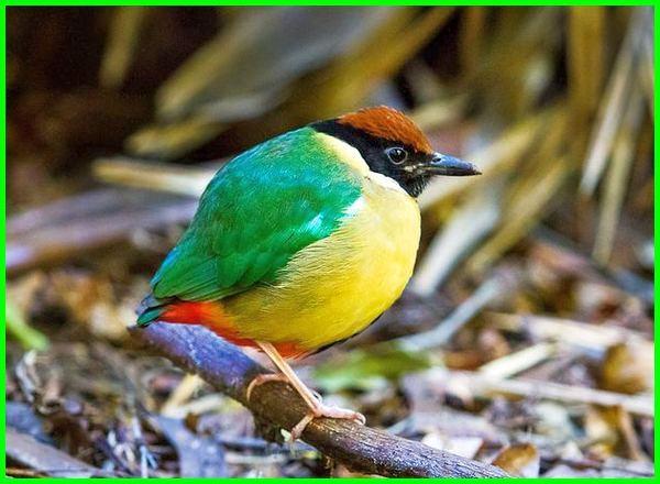 burung asal malaysia, burung dari malaysia, nama burung di malaysia, burung migrasi di malaysia, spesies burung di malaysia, jenis2 burung di malaysia, burung peliharaan di malaysia, burung endemik malaysia, burung hutan malaysia