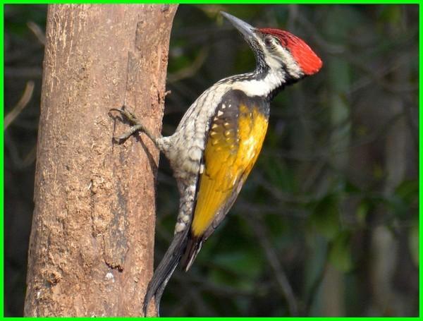 nama burung di malaysia, burung migrasi di malaysia, spesies burung di malaysia, jenis2 burung di malaysia, burung peliharaan di malaysia, burung pheasant endemik malaysia, burung hutan malaysia, burung asal malaysia, burung dari malaysia