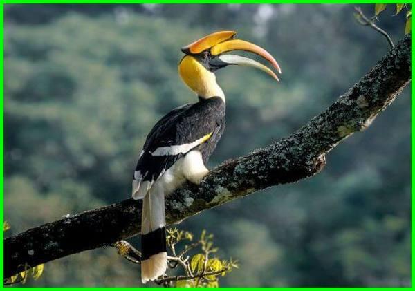 Hornbill (rangkong),nama hewan khas malaysia, apa saja hewan khas malaysia, hewan negara malaysia, hewan yang dilindungi negara malaysia, ciri khas hewan negara malaysia, 5 hewan langka di malaysia