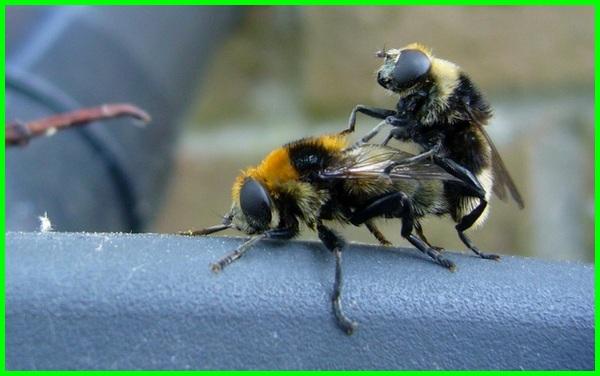 lebah kawin, cara reproduksi lebah,cara reproduksi lebah madu, proses reproduksi lebah