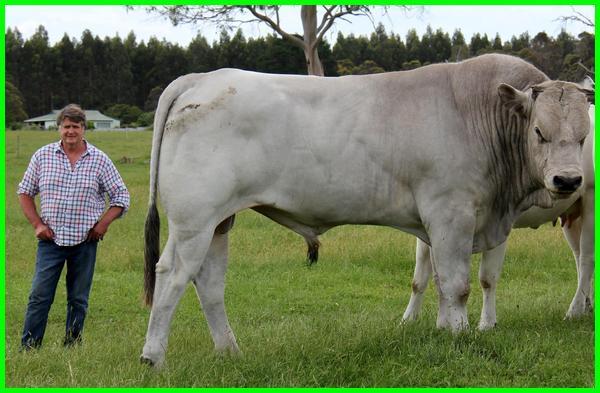 Sapi chianina, sapi chianina italia, chianina austria, what is a chianina bull, chianina bulls, chianina breed, chianina characteristics