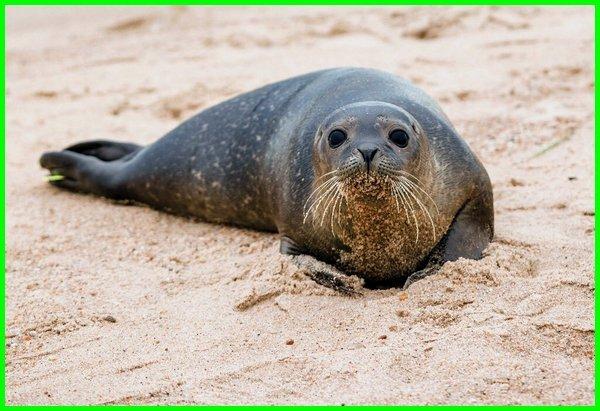 informasi tentang anjing laut, keterangan tentang anjing laut, anjing laut artinya, cara anjing laut berkembang biak, ciri anjing laut, filosofi anjing laut, fungsi anjing laut, anjing laut hitam, jenis anjing laut, jelaskan anjing laut, anjing laut picture, anjing laut hitam
