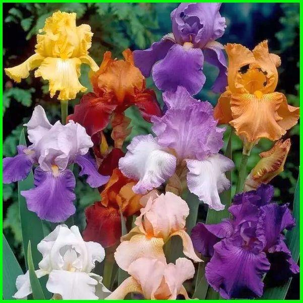 foto bunga iris dan artinya