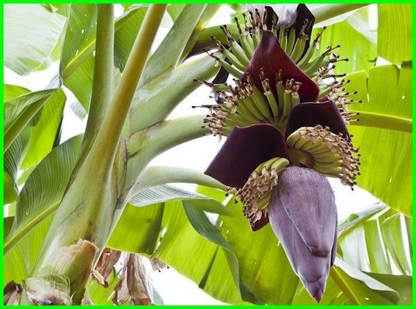 gambar jantung pisang, fungsi jantung pisang, foto jantung pisang, fakta jantung pisang, fungsinya jantung pisang, foto jantung pisang kepok, fungsi jantung pisang ambon, fungsi jantung pisang tanduk, jantung pisang gambar, jantung pisang khasiatnya