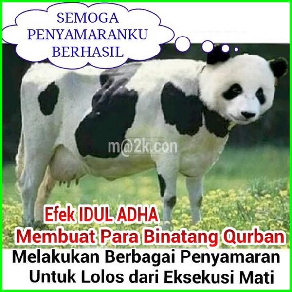 sapi nyamar jadi panda, gambar sapi saat kurban lucu, gambar lucu sapi kurban