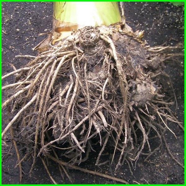 jenis akar pohon pisang, fungsi akar pohon pisang, gambar akar pohon pisang, ciri akar pohon pisang, kegunaan akar pohon pisang, nama akar pohon pisang, akar pada pohon pisang