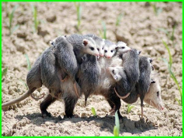 gambar anak hewan dan induknya, anak kecil dan hewan, anak hewan yang bentuknya sama dengan induknya, induk dan anak hewan yang memiliki rupa yang sama, anak hewan lucu anak hewan yang lucu, anak hewan terlucu