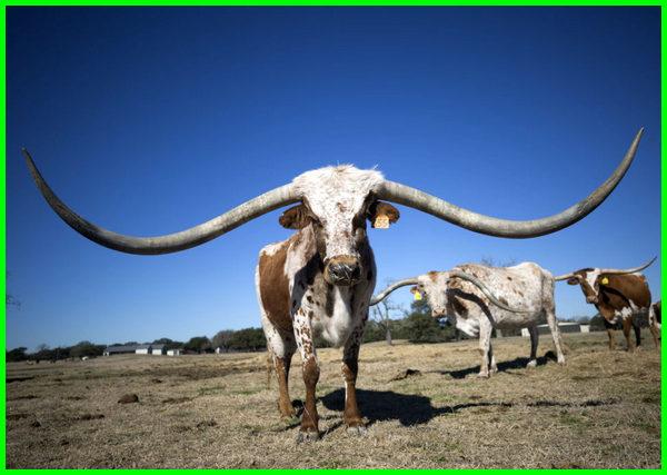 gambar sapi unik, foto sapi unik, sapi unik di dunia, nama sapi unik, gambar sapi yang unik, Sapi Longhorn Texas, Texas longhorn cow