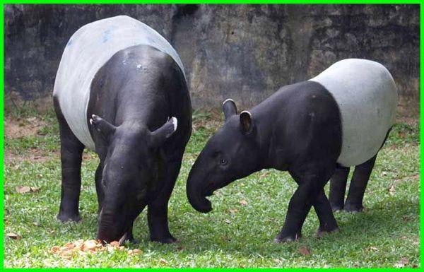 binatang khas malaysia, hewan di malaysia, binatang di malaysia, binatang hutan malaysia, binatang rasmi malaysia, binatang liar di malaysia, binatang asli malaysia, hewan di malaysia, hewan langka malaysia, hewan negara malaysia