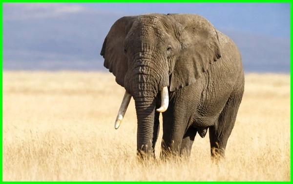 hewan gajah adalah, hewan gajah afrika, gajah hewan apa, gajah hewan cerdas, contoh hewan gajah, filosofi hewan gajah, foto hewan gajah, fakta hewan gajah, identifikasi hewan gajah