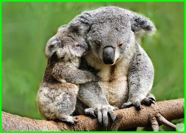 ciri hewan koala, hewan koala dan keterangannya, foto hewan koala, fakta hewan koala, foto hewan koala lucu, gambar hewan koala lucu, habitat hewan koala, karakter hewan koala