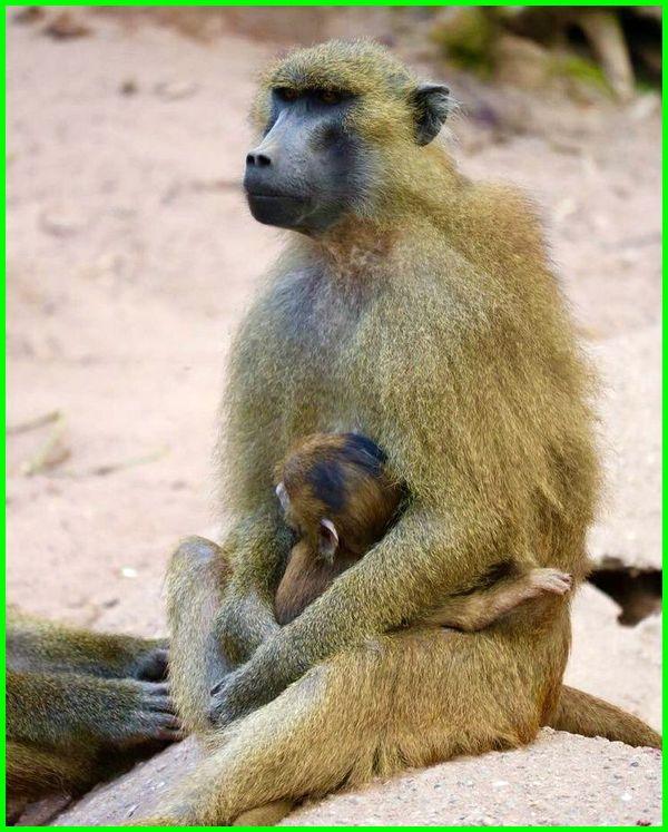 gambar hewan menyusui, gambar babon menyusui, gambar monyet menyusui
