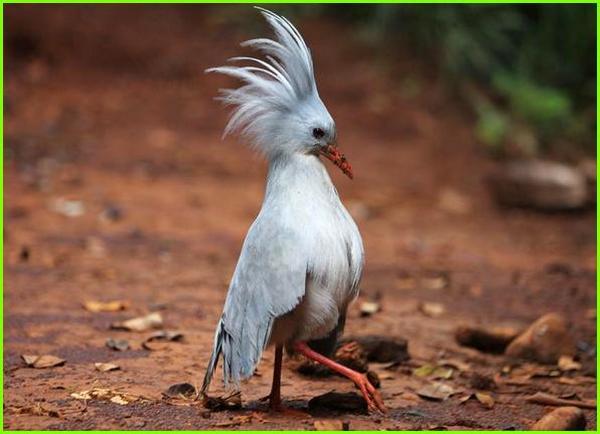 hewan huruf depan k, hewan yang huruf depannya k, nama hewan huruf depannya k, hewan dengan huruf k, nama hewan dengan huruf k, gambar hewan dari huruf k, burung Kagu (Rhynochetos jubatus)