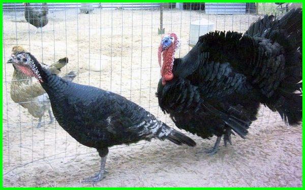 jenis ayam kalkun black spanish, jenis ayam kalkun black spanish, jenis kalkun black spanish, ayam kalkun hitam