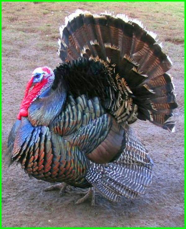 jenis kalkun bronze, jenis ayam kalkun bronze, harga kalkun jenis bronze, harga ayam kalkun jenis bronze, ayam kalkun bronze