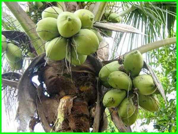 5 Varietas Pohon Kelapa Mini Yang Menguntungkan Di Indonesia Dunia Fauna Hewan Binatang Tumbuhan Dunia Fauna Hewan Binatang Tumbuhan
