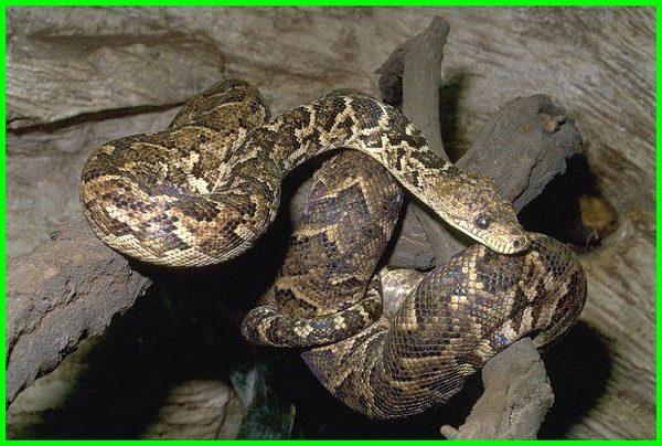 Cuban Tree Boa, ular yang termasuk paling terbesar di dunia masih kecil