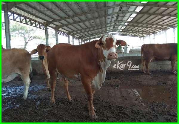 jual sapi bunting, jual beli sapi hamil, hukum jual beli sapi hamil, harga sapi limosin bunting, harga sapi perah hamil, jual sapi hamil murah