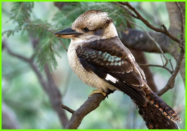 hewan dengan huruf k, nama hewan dengan huruf k, gambar hewan dari huruf k, nama hewan kecil huruf k, hewan apa yang huruf pertamanya k, nama hewan dari huruf k tts, Kookaburra (Dacelo novaeguineae)