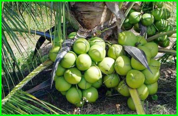 macam macam buah kelapa, jenis jenis pohon kelapa, pohon kelapa kecil berbuah lebat, Kelapa genjah entok