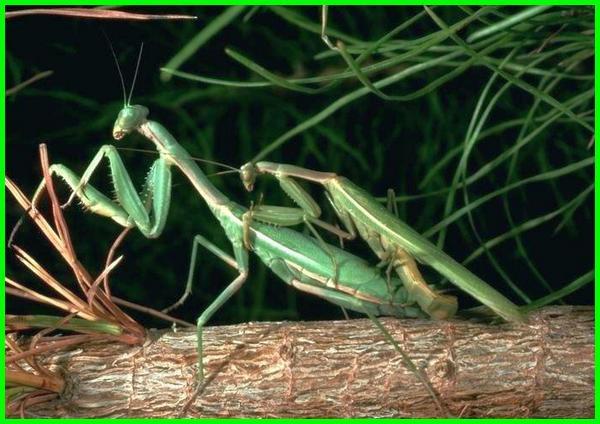 cara belalang sembah kawin, musim kawin belalang sembah, proses kawin belalang sembah, perilaku kawin belalang sembah