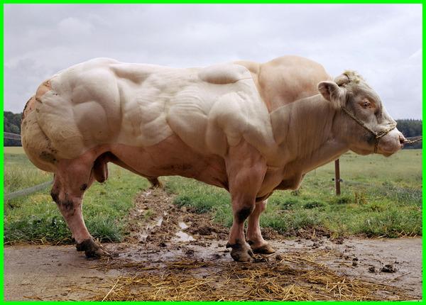 peternakan sapi belgian blue, persilangan sapi belgian blue, pengembangan sapi belgian blue, pengertian sapi belgian blue, program pengembangan sapi belgian blue, ternak sapi belgian blue, tentang sapi belgian blue
