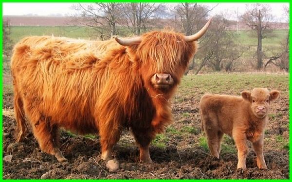 sapi unik dan lucu, gambar sapi unik, foto sapi unik, sapi unik di dunia, nama sapi unik, gambar sapi yang unik