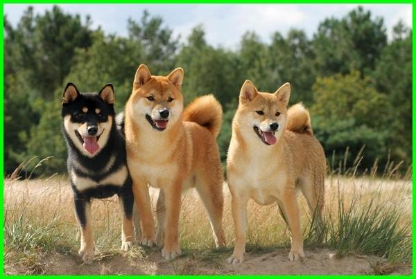 shiba inu akita inu, shiba inu anjing, shiba inu cute, shiba inu di indonesia, shiba inu information, shiba inu japan, husky x shiba inu, akita inu y shiba inu diferencias, diferencia entre akita y shiba inu, perbedaan akita inu dan shiba inu, shiba inu dan akita inu