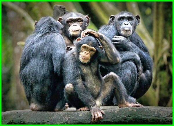 karakteristik simpanse, foto simpanse lucu, simpanse lucu, simpanse nyengir, contoh simpanse, simpanse gambar monyet, gambar simpanse lucu, gambar simpanse ketawa, gambar simpanse keren