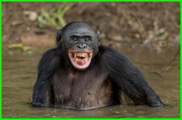 simpanse lucu, simpanse nyengir, contoh simpanse, gambar simpanse lucu, gambar simpanse ketawa, gambar simpanse keren, foto simpanse lucu