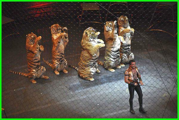 sirkus singa dan harimau