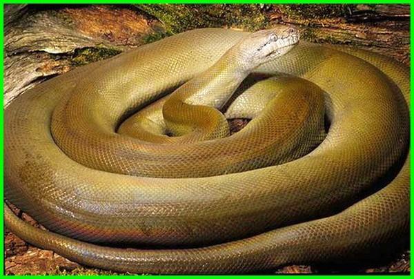 ular terbesar dunia, ular terbesar di indonesia yang masih hidup, ular air terbesar di dunia, gambar ular terbesar di dunia asli, ular terbesar di dunia ok google, penemuan ular terbesar hari ini