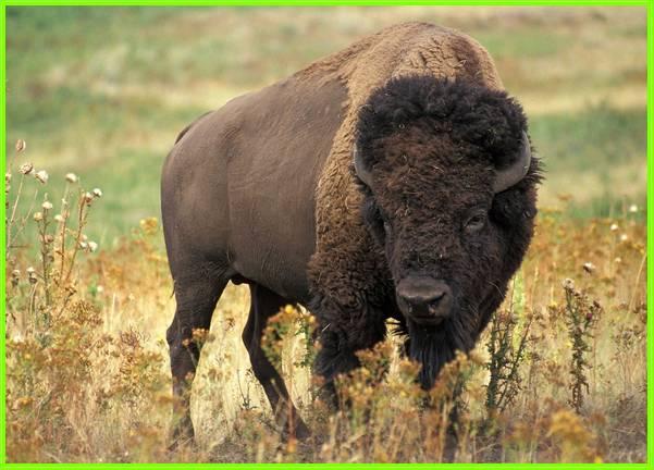 hewan bison amerika, hewan amerika serikat, hewan khas amerika, hewan dari amerika utara, hewan nasional amerika serikat, hewan asal amerika, hewan asli amerika utara, hewan asli amerika selatan, hewan benua amerika