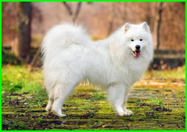 anjing termahal dunia, anjing termahal di dunia saat ini, harga anjing termahal dunia, jenis anjing termahal dunia, daftar anjing termahal di dunia