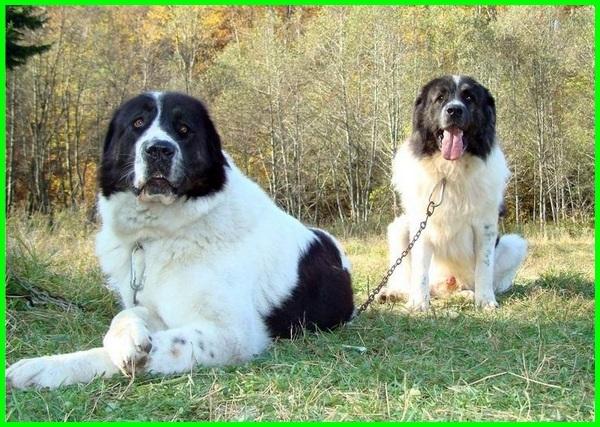 jenis anjing tertinggi di dunia, nama anjing tertinggi di dunia, anjing tertinggi di dunia