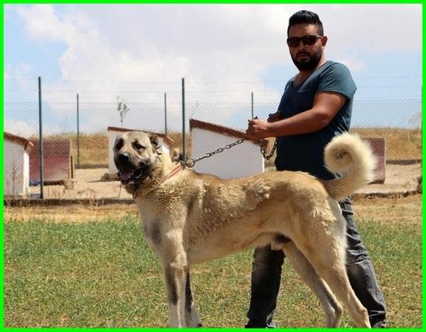 anjing tertinggi, anjing yang tinggi, anjing besar dan tinggi, tinggi dari anjing, jenis anjing tinggi
