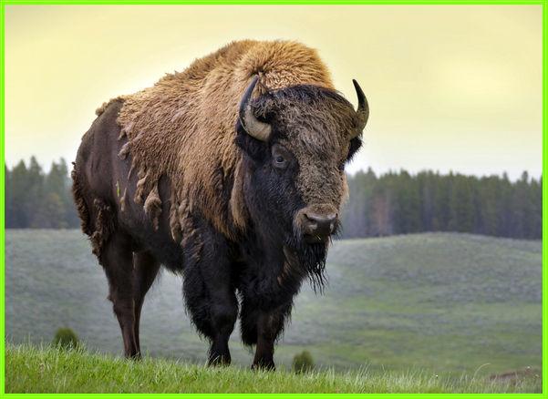 hewan bison, hewan bison terbesar, hewan bison terbesar di dunia, hewan bison amerika, hewan bison hitam, bison adalah hewan pemakan, apakah hewan bison, apa hewan bison, hewan bernama bison, berat hewan bison
