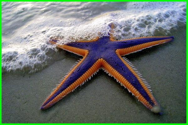 bintang laut indah, starfish