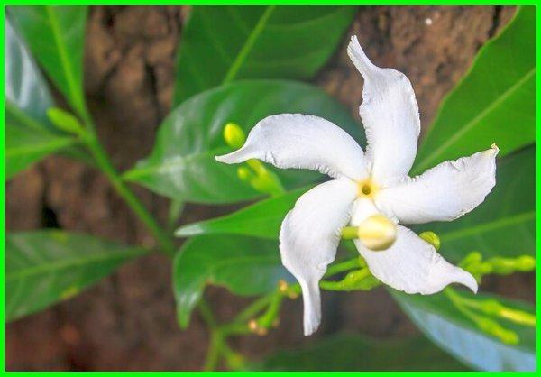 bunga nasional filipina adalah, bunga nasional filipina brainly